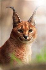 Caracal close-up iPhone Hintergrundbilder