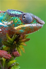 Chameleon close-up iPhone Hintergrundbilder
