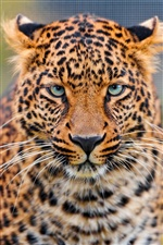 Leopard Gesicht close-up iPhone Hintergrundbilder