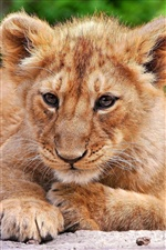 Lion cub close-up iPhone Hintergrundbilder