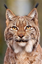 Lynx close-up iPhone Hintergrundbilder