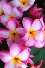 Rosa Blumen close-up, plumeria iPhone Hintergrundbilder