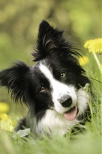 Border-Collie, Hund, Gras, Bokeh iPhone Hintergrundbilder